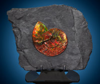 """Gem"" Ammonite in Matrix Placenticeras meeki Late Cretaceous Bearpaw Formation<"