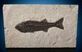 Fossils:Fish, Fossil Fish. Mioplosus sp.. Eocene. Green RiverFormation. Wyoming, USA. ...