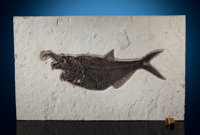 "Fossil Fish ""Aspiration"" Diplomystus dentatus Eocene Green River Formation<"