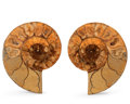 Fossils:Cepholopoda, Sliced Ammonite Pair. Cleoniceras sp.. Cretaceous. Madagascar.4.33 x 3.54 x 0.76 inches (11.01 x 8.98 x 1.93 cm). ... (Total:2 Items)