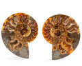 Fossils:Cepholopoda, Sliced Ammonite Pair. Cleoniceras sp.. Cretaceous. Madagascar.4.92 x 3.78 x 0.57 inches (12.50 x 9.61 x 1.46 cm). ... (Total:2 Items)