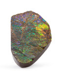 Fossils:Cepholopoda, Ammolite Fossil. Placenticeras sp.. Cretaceous.Bearpaw Formation. Southern Alberta, Canada. 4.26x 2.58 x...