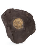 Fossils:Cepholopoda, Ammonite Fossil Imprint. Harpoceras falcifer. Lower Jurassic.Holzmaden Shale. Bavaria, Germany. 4.83 x 4.12 x 0.62 inches...