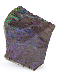 Ammolite Fossil Placenticeras sp. Cretaceous Bearpaw Formation Southern Alberta, Canada 7.28 x 4.72