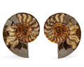 Fossils:Cepholopoda, Sliced Ammonite Pair. Cleoniceras sp.. Cretaceous. Madagascar.6.30 x 5.12 x 0.92 inches (16.00 x 13.00 x 2.33 cm). ...(Total: 2 Items)