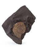 Fossils:Cepholopoda, Ammonite Imprint Fossil. Harpoceras falcifer. Lower Jurassic.Holzmaden Shale. Bavaria, Germany. 4.26 x 3.66 x 0.31 inches...