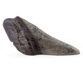 Fossils:Fish, Megalodon Shark Tooth Paperweight. Carcharocles megalodon.Miocene. Morgan River. South Carolina, USA.5.3...