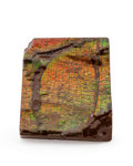 Fossils:Cepholopoda, Ammolite Fossil. Placenticeras sp.. Cretaceous. Bearpaw Formation. Southern Alberta, Canada. 2.27 x 1.93 x...