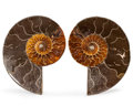 Fossils:Cepholopoda, Sliced Ammonite Pair. Cleoniceras sp.. Cretaceous. Madagascar.4.19 x 3.33 x 0.61 inches (10.63 x 8.45 x 1.56 cm). ... (Total:2 Items)