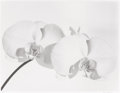 Photographs:Gelatin Silver, Tom Ferguson (American, 20th Century). Two White Orchids, 1991. Selenium-toned gelatin silver, 1997. 15 x 19-1/2 inches ...
