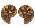 Fossils:Cepholopoda, Sliced Ammonite Pair. Cleoniceras sp.. Cretaceous. Madagascar.4.62 x 4.16 x 0.58 inches (11.74 x 10.56 x 1.48 cm). ...(Total: 2 Items)