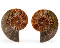 Fossils:Cepholopoda, Sliced Ammonite Pair. Cleoniceras sp.. Cretaceous. Madagascar.4.28 x 3.41 x 0.46 inches (10.88 x 8.65 x 1.17 cm). ... (Total:2 Items)