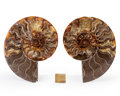 Fossils:Cepholopoda, Sliced Ammonite Pair. Cleoniceras sp.. Cretaceous. Madagascar.5.89 x 4.66 x 0.70 inches (14.95 x 11.84 x 1.78 cm). ...(Total: 2 Items)