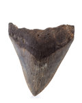 Fossils:Fish, Megalodon Shark Tooth. Carcharocles megalodon. Miocene. MorganRiver. South Carolina, USA. 4.37 x 3.53 x 0.81 inches (11.1...