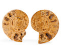 Fossils:Cepholopoda, Sliced Ammonite Pair. Cleoniceras sp.. Cretaceous. Madagascar.3.93 x 3.05 x 0.70 inches (9.97 x 7.75 x 1.77 cm). ... (Total:2 Items)