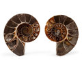 Fossils:Cepholopoda, Sliced Ammonite Pair. Cleoniceras sp.. Cretaceous. Madagascar.3.18 x 2.46 x 0.73 inches (8.08 x 6.24 x 1.85 cm). ... (Total:2 Items)