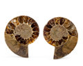 Fossils:Cepholopoda, Sliced Ammonite Pair. Cleoniceras sp.. Cretaceous. Madagascar. 2.62 x 2.01 x 0.54 inches (6.65 x 5.10 x 1.36 cm). ... (Total: 2 Items)