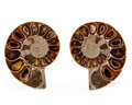 Fossils:Cepholopoda, Sliced Ammonite Pair. Cleoniceras sp.. Cretaceous. Madagascar.2.37 x 1.96 x 0.54 inches (6.02 x 4.97 x 1.36 cm). ... (Total:2 Items)