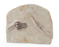 Fossils:Echinoderms, Fossil Crinoid. Parascytalocrinus validus and Agaricocrinus americanus. Mississippian. Edwardsville Formation. Crawfordsvi...