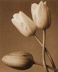 Photographs:Gelatin Silver, Frederic Ohringer (American, b. 1940). Three Tulips, 1993. Sepia-toned gelatin silver. 10-1/4 x 8-1/4 inches (25.9 x 21 ...