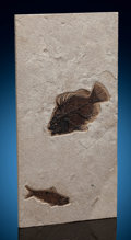 Fossils:Fish, Fossil Fish Plate. Priscacara liops and Knightia sp.. Eocence Age. Green River Formation. Wyoming. 15.94 x 7.95 x 0.45 inc...