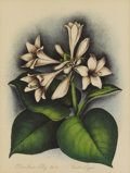 Texas:Early Texas Art - Regionalists, VERDA LIGON (1902-1970). Plantation Lily, 1930s.Hand-colored lithograph on paper. 16 x 12 inches (40.6 x 30.5 cm).Sign...