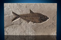 Fossils:Fish, Fossil Fish Plate. Diplomystus dentatus. Eocence Age. GreenRiver Formation. Wyoming. ...