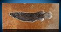 Fossils:Fish, Large Fossil Gar. Lepisosteus simplex. Eocene. Green River Formation. Wyoming, USA. ...