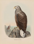 Prints, Daniel Girard Elliot (American, 1830-1907). Hallaetus Albicilla, from The New and Heretofore Unfigured Species of the Bird...