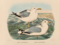 Fine Art - Work on Paper:Print, Daniel Girard Elliot (American, 1830-1907). Rissa Kotzebui and Larus Occidentalis, from The New and Heretofore Unfigured S... (Total: 2 Items)