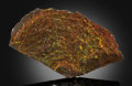 Fossils:Cepholopoda, Ammolite Fossil. Placenticeras sp.. Cretaceous. BearpawFormation. Southern Alberta, Canada. 10.24 x 5.51 x 0.57 inches(2...