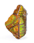 Fossils:Cepholopoda, Ammolite Fossil. Placenticeras sp.. Cretaceous. Bearpaw Formation. Southern Alberta, Canada. 3.22 x 2.11 x...