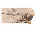 Fossils:Fish, Fossil Fish. Diplomystus dentatus. Eocene. Green RiverFormation. Wyoming, USA. 13.50 x 6.26 x 0.33 inches (34.30 x 15.90...