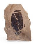 Fossils:Paleobotany (Plants), Fossil Leaves. Unidentified species. Eocene. Parachute CreekMember, Green River Formation. Bonanza Area, Utah. 4.08 x2.9...