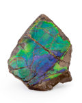 Fossils:Cepholopoda, Ammolite Fossil. Placenticeras sp.. Cretaceous. BearpawFormation. Southern Alberta, Canada. 3.17 x 2.28 x 0.37 inches(8....