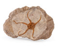 "Fossils:Fish, Fossil Starfish. ""Brittle Star"". Ophiuroidae sp.. Ordovician. Ktaoua Formation. Mecissi, Sahara Desert, Morocco. 7.09 x 4...."
