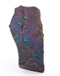 Fossils:Cepholopoda, Ammolite Fossil. Placenticeras sp.. Cretaceous. BearpawFormation. Southern Alberta, Canada. 5.14 x 2.56 x 0.72 inches(13...