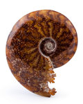 Fossils:Cepholopoda, Ammonite Fossil. Cleoniceras sp.. Cretaceous. Madagascar. 4.84 x3.76 x 1.10 inches (12.30 x 9.54 x 2.79 cm). ...