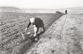 Photographs, Carl Mydans (American, 1907-2007). Potato Planting, Limburger, Germany, 1954. Gelatin silver, printed later. 11-3/4 x 16...