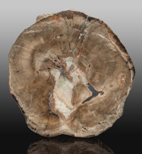 Petrified Woodworthia Slab Woodworthia Triassic Chinle Formation, Painted Desert Me