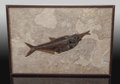 Fossils:Fish, Fossil Fish Aspiration. Diplomystus dentatus and Knightiaeocaena. Eocence. Green River Formation.Wyoming, US...