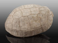 Fossils:Amphibians & Reptiles, Fossil Turtle. Testudo thomsoni. Oligocene. White River Badlands. South Dakota, USA. ...