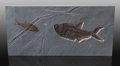 Fossils:Fish, Fossil Fish Plate. Diplomystus dentatus. Eocence .Green River Formation. Wyoming, USA. ...