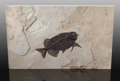 Fossils:Fish, Fossil Fish. Phareodus sp.. Eocence. Green River Formation. Wyoming, USA. ...