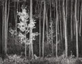 Photographs:Gelatin Silver, Ansel Adams (American, 1902-1984). Aspens, Northern New Mexico, 1958. Gelatin silver, 1977. 15 x 19 inches (38.1 x 48.3 ...