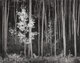 Ansel Adams (American, 1902-1984) Aspens, Northern New Mexico, 1958 Gelatin silver, 1977 15 x 19 inches (38.1 x 48.3