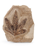Fossils:Paleobotany (Plants), Fossil Leaf. Undetermined species. Eocene. Parachute Creek Member, Green River Formation. Bonanza Area, Utah. 5.05 x 4.19 ...