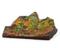 Fossils:Cepholopoda, Ammolite Fossil. Placenticeras sp.. Cretaceous. BearpawFormation. Southern Alberta, Canada. 5.53 x 3.45 x 0.80 inches(14...