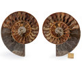 Fossils:Cepholopoda, Sliced Ammonite Pair. Cleoniceras sp.. Cretaceous. Madagascar.7.01 x 5.98 x 0.71 inches (17.80 x 15.20 x 1.80 cm). ...(Total: 2 Items)