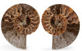 Fossils:Cepholopoda, Sliced Ammonite Pair. Cleoniceras sp.. Cretaceous. Madagascar.6.69 x 5.31 x 0.77 inches (17.00 x 13.50 x 1.95 cm). ...(Total: 2 Items)